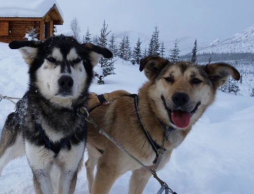 Secrets of the Alaska sled dog