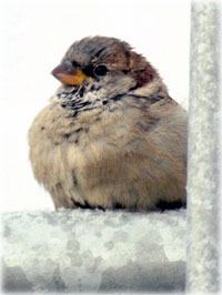 The singing sparrows of Shishmaref By NED ROZELL - This just in from Shishmaref science teacher Ken Stenek: On this late