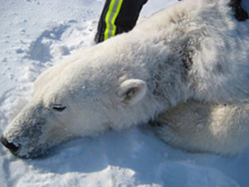 jpg Polar Bears in Alaska Observed with Patchy Hair Loss and other Skin Lesions