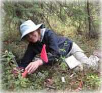 Invasive plants may threaten Alaska's native berries