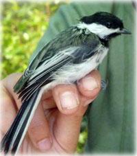 Alaska mosquitoes spreading malaria in birds