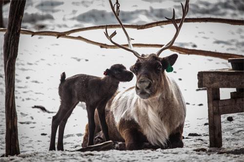 jpg First reindeer calf arrives at Fairbanks Experiment Farm