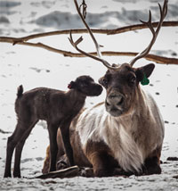 First reindeer calf arrives at Fairbanks Experiment Farm