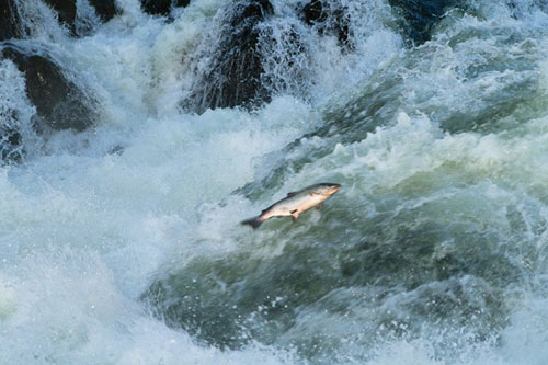 jpg Research identifies factors affecting salmon spawning