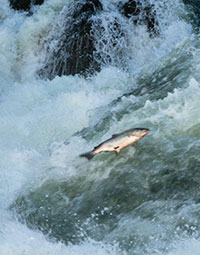Research identifies factors affecting salmon spawning