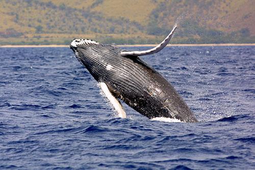 jpg ESA Humpback Whale Listing Revised