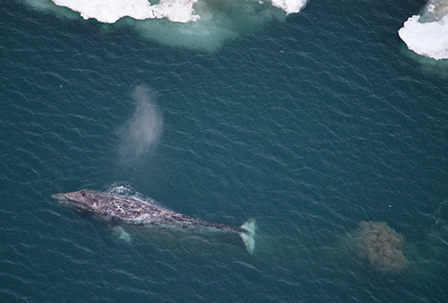 jpg Sentinels of Change: Gray Whales in the Arctic