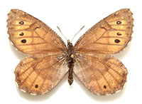 Is Alaska's first new butterfly species in decades an ancient hybrid?