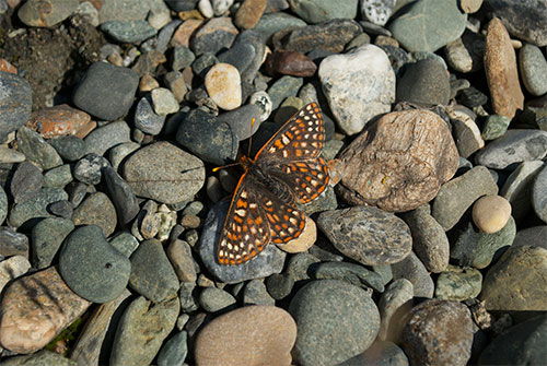 jpg An anicia checkerspot (Euphydryas anicia) on pebbles near the shore of Kluane Lake, in Yukon, Canada.