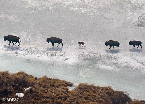 "jpg Alaska's first ""wild"" wood bison calves spotted"