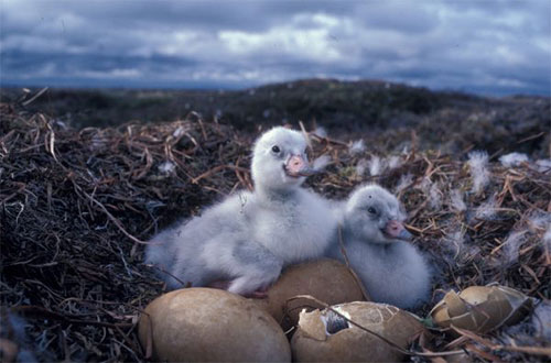 jpg Cygnets, newly hatched tundra swans, peer from a nest in western Alaska.