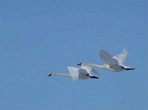 jpg Tundra swans fly over western Alaska.