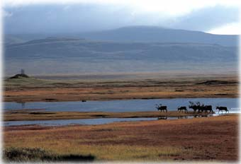 The mystery of 53 dead caribou...
