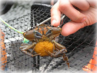 Network sets traps to find any green crabs in Alaska