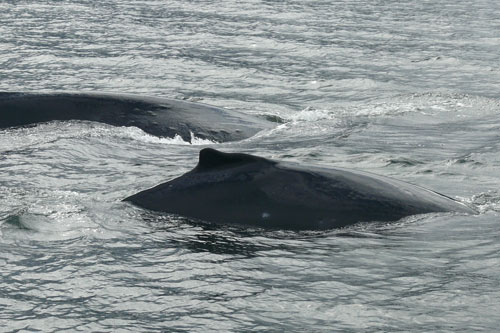 jpg Entangled humpback whale and calf.