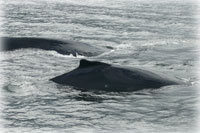 TEAM RESPONDS TO FIRST REPORTED WHALE ENTANGLEMENT OF THE SEASON