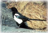 Magpies a more common sight throughout Alaska