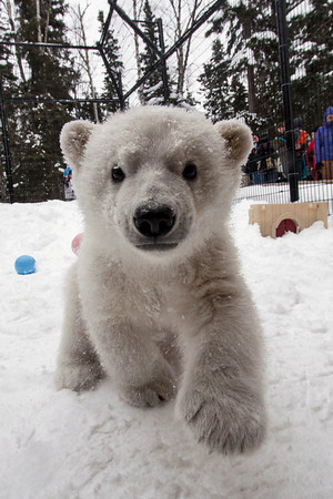 jpg Kali leaves the Alaska Zoo to join polar bear cub Luna at the Buffalo Zoo