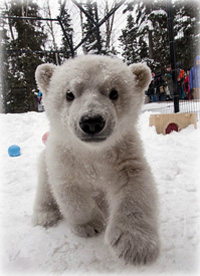 ali leaves the Alaska Zoo to join polar bear cub Luna at the Buffalo Zoo