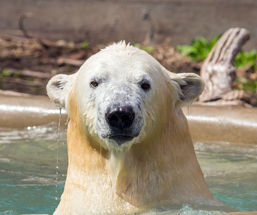 jpg Rescued Alaska Cub Now 850 Pounds and Living at the Saint Louis Zoo