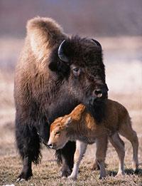 Wood Bison Transition to Wild Population