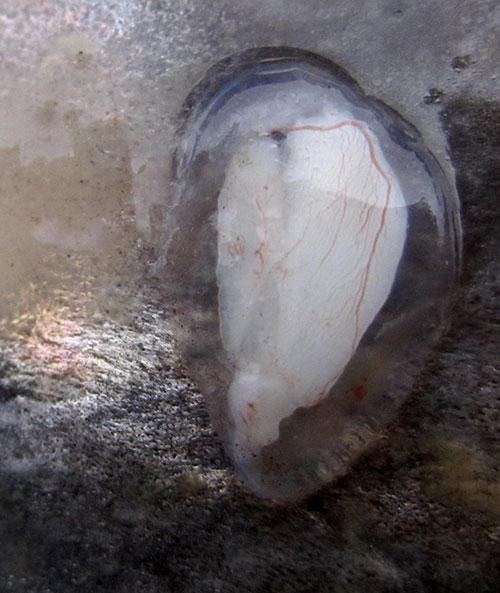 jpg Chemical tags in ear bones track Alaska's Bristol Bay salmon