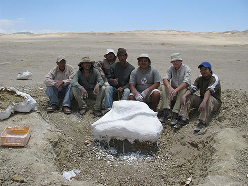 jpg Members of the excavation team (from the Museo de Historia Natural, Lima and the Muséum National d'Histoire Naturelle, Paris) gathered around a plaster jacket surrounding part of the skeleton of Mystacodon selenensis at the Media Luna locality in the Pisco Basin, Peru.
