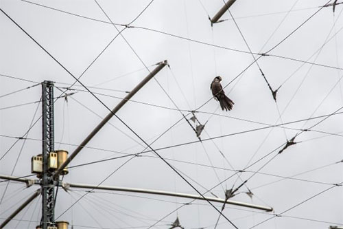 jpg A gray jay rests on a wire in the HAARP antenna grid near Gakona, Alaska.