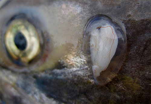 jpg The otolith of an adult Chinook salmon harvested in Nushagak Bay.