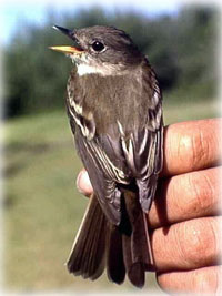 laska summer is short for the alder flycatcher