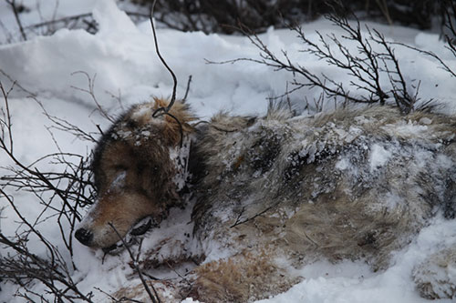 jpg Petition Seeks to Halt the Killing of Denali National Park Wolves
