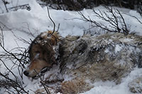 Petition Seeks to Halt the Killing of Denali National Park Wolves