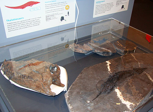 jpg One of the most complete thalattosaur fossils in the world, show at lower right, was found in Alaska.
