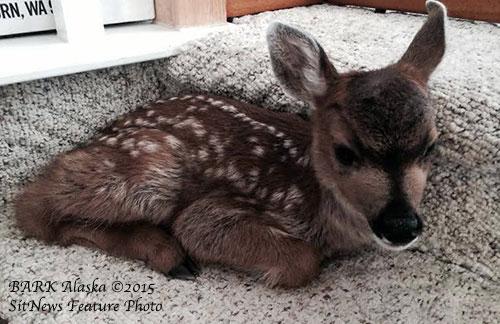 jpg Fern, Ketchikan's orphaned fawn...