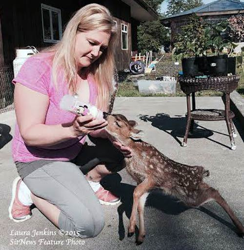 jpg Rescued Fawn Reported to be Thriving in New Home