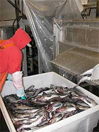 Pollock fishermen may struggle to maintain catch numbers as oceans change