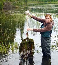 Research will map risk of invasive aquatic weeds in Alaska
