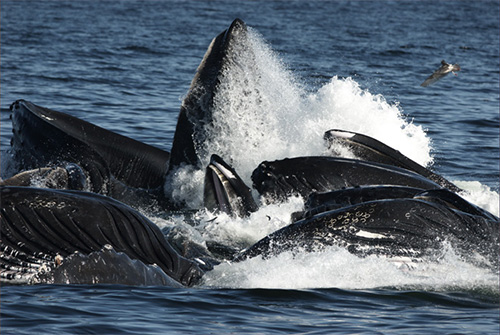 jpg Meals on the go: The physics of whales' eating habits
