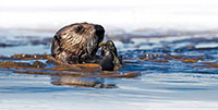Wildlife Recovery Following the Exxon Valdez Oil Spill was Highly Variable Across Species