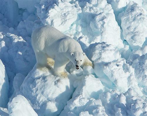 jpg Increased Sea Ice Drift Puts Polar Bears on Faster Moving Treadmill