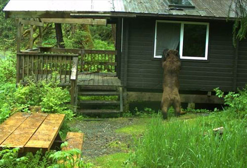 jpg Bear situations at Helm Creek and Helm Bay cabins