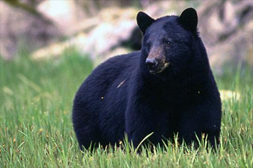 jpg Black bear