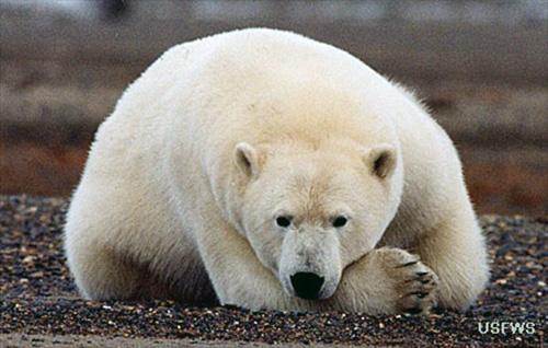 jpg Polar bear