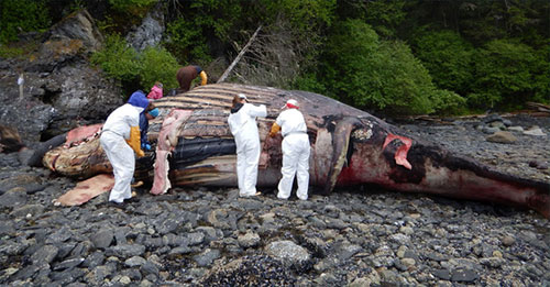 jpg NOAA Fisheries team performs necropsy on humpback.