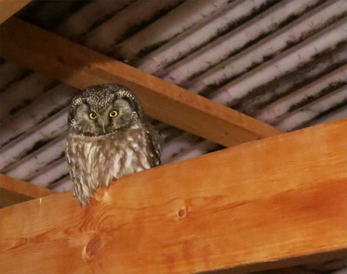 jpg A boreal owl rests under a roof in late winter.