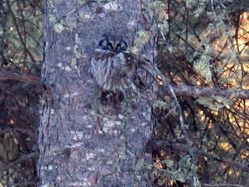 jpg A boreal owl's plumage blends into the bark pattern on a spruce trunk.