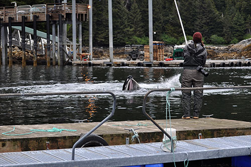 jpg Madison Kosma gets aerial video footage of feeding events at the hatchery with a pole and GoPro. NOAA permit #18529.