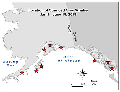 jpg NOAA map indicating locations where dead gray whales have been foundin Alaska.