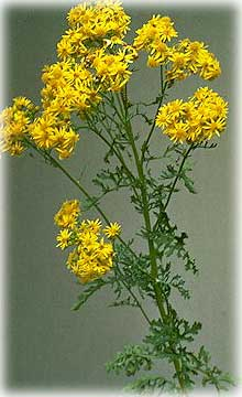 Invasive Plant Tansy Ragwort Blooming in Ketchikan