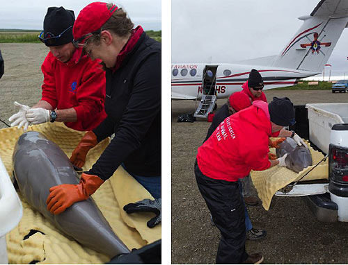 jpg Beluga Whale Calf Rescued by the Alaska SeaLife Center